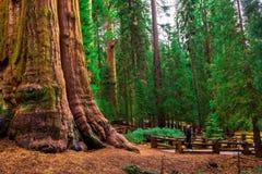 De toerist bekijkt omhoog een reuzesequoiaboom royalty-vrije stock afbeeldingen
