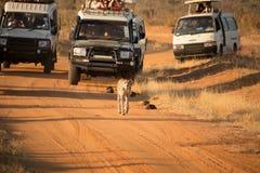 De toeristen achtervolgen jachtluipaard binnen op de vuile weg van wegauto's op hun spelaandrijving stock fotografie