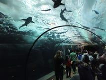 De toeristen letten op zwemmende haaien Royalty-vrije Stock Foto