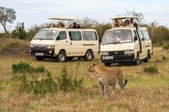 De toeristen nemen beelden van luipaard Royalty-vrije Stock Afbeeldingen