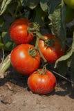 De tomaat van de bes Stock Foto