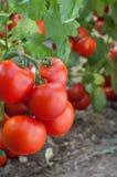 De tomaat van de groei Stock Fotografie