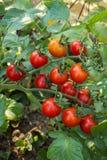De tomaat van de kers op tak Stock Afbeeldingen