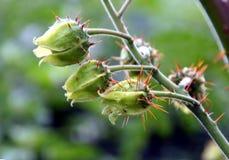 De tomaat van de lychee Stock Foto