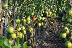 De tomaten groeien in open organische grond stock foto's