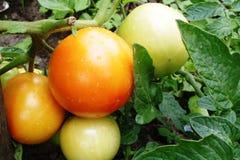 De tomaten rijpen op een moestuin Stock Afbeelding