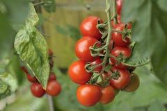 De Tomaten van Alicante op de wijnstok Royalty-vrije Stock Foto