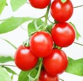 De Tomaten van de aardbei Royalty-vrije Stock Foto