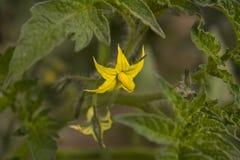 De tomaten van de bloem Stock Foto's