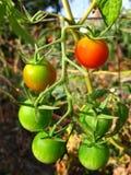 De tomaten van de kers op wijnstok Stock Fotografie