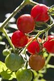 De Tomaten van de kers in Verschillende Stadia van de Groei Royalty-vrije Stock Afbeeldingen