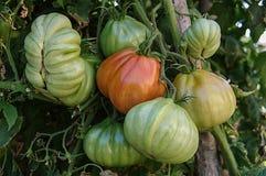 De tomaten van het oshart Stock Afbeeldingen