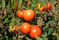 De tomaten worden ziek door Phytophtora infestans of recente vloek stock foto