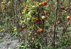 De tomaten worden ziek door recente vloek of Phytophthora stock afbeeldingen