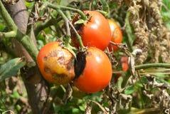 De tomaten worden ziek door recente vloek Sluit omhoog op Phytophtora infestans is een oomycete die de ernstige tomatenziekte ver royalty-vrije stock foto