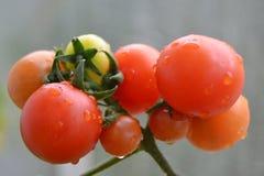 De tomatengroei Stock Afbeeldingen