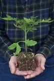De tomatenplant van de mensenholding Stock Foto's