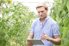 De Tomatenplanten die van landbouwersin greenhouse checking Digitale Tablet gebruiken Stock Fotografie