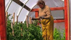De tomatenplanten van de de vrouwenband van de omatuinman in serre Royalty-vrije Stock Fotografie
