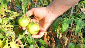 De Tomatenplanten van landbouwersin greenhouse checking stock video