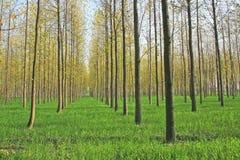 De toneel landbouwbedrijven van de boomaanplanting in Noord-India stock afbeelding