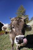 De tong van de koe Stock Foto's