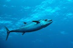 De Tonijn van Dogtooth in Water van Indische Oceaan, de Maldiven Stock Foto's