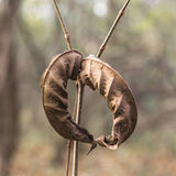 De torra sidorna av den Manchurian valnöten Fotografering för Bildbyråer