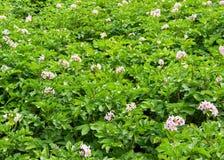De tot bloei komende aardappels Stock Fotografie