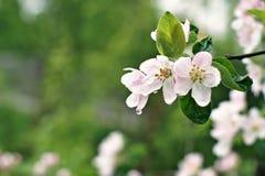 De tot bloei komende appelboom na de regen, de roze bloemen en de bladeren zijn behandeld met waterdalingen op een groene achterg Royalty-vrije Stock Foto