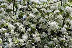 De tot bloei komende Apple-boom in april stock afbeeldingen