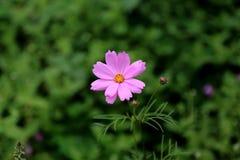 De tot bloei komende bloem Stock Afbeelding