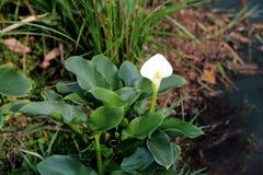 De tot bloei komende bloem Stock Fotografie
