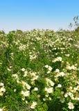 De tot bloei komende bloemen van de weide Stock Foto's