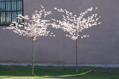 De tot bloei komende bomen van de Kers Stock Afbeeldingen
