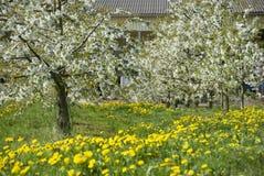 De tot bloei komende bomen van de Kers royalty-vrije stock afbeelding
