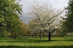 De tot bloei komende boomgaard van appelbomen Stock Fotografie