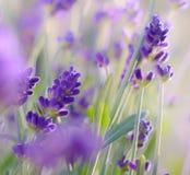 De tot bloei komende close-up van Lavendelstruiken Stock Fotografie
