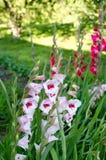 De tot bloei komende gladiolenbloemen in tuin Stock Foto's