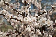 De tot bloei komende kersenboom Royalty-vrije Stock Afbeeldingen