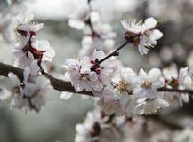 De tot bloei komende kersenboom Stock Foto