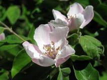 De tot bloei komende kweepeerboom defocused achtergrond stock fotografie