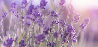 De tot bloei komende Lavendel bloeit achtergrond Royalty-vrije Stock Afbeelding