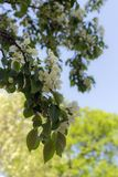 De tot bloei komende tak van de appelboom royalty-vrije stock foto