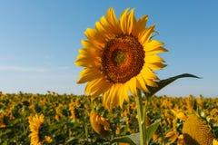 De tot bloei komende zonnebloem dicht omhoog tegen de achtergrond van het gebied stock foto's