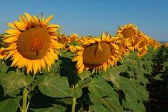 De tot bloei komende zonnebloemen op het gebied stock foto's