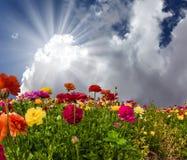 De trädgårds- smörblommorna Arkivfoto