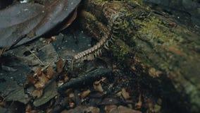 De tractorduizendpoot alias Polydesmida loopt over de bosvloer met de rode parasieten van de fluweelmijt op zijn rug stock afbeeldingen