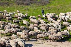 De traditionele landbouw - Herder met zijn schapenkudde Stock Foto