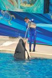 De trainer giet water in orka in Seaworld stock fotografie